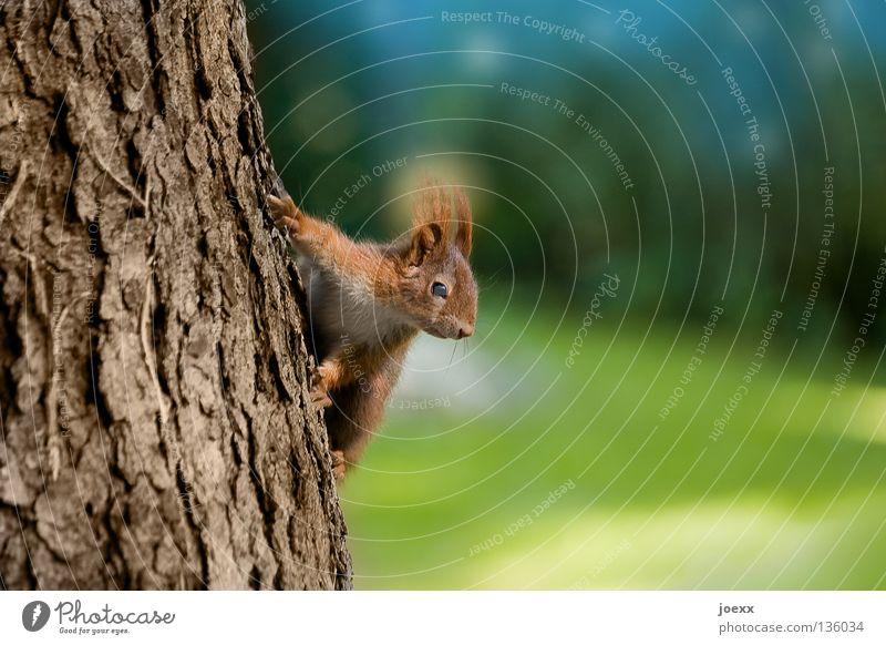 Poser Aktion Baum Eichhörnchen Baumstamm braun buschig Fell Mut Nagetiere niedlich Pfote Baumrinde rot rotbraun Säugetier Schüchternheit Stunt süß Tier