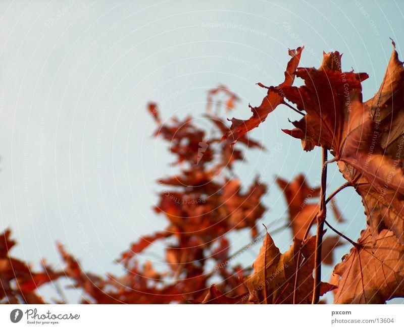 herbst *3 Herbst Blatt rot Baum herbstlich Himmel Detailaufnahme