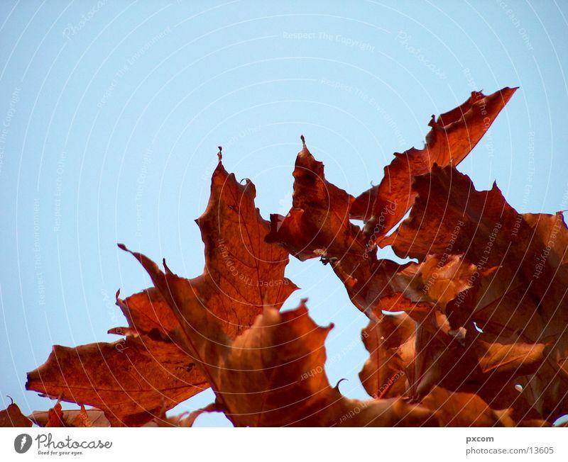 herbst *2 Herbst Blatt rot Baum herbstlich Himmel Detailaufnahme