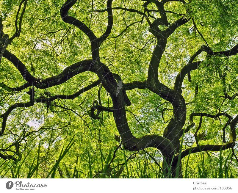 Grüner Fächerahorn : ( acer palmatum ) grün Japanischer Ahorn Bonsai mystisch Märchen fantastisch Blatt Baum Wald Pflanze klein Froschperspektive Gras braun