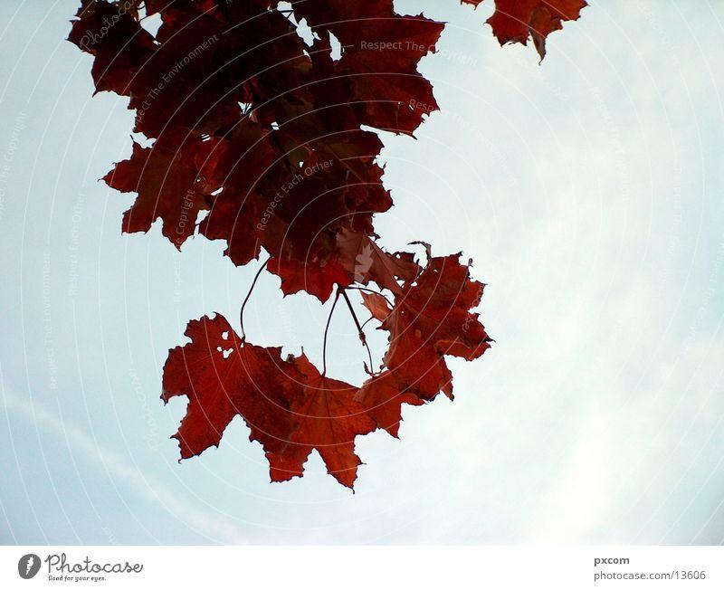 herbst *1 Herbst Blatt rot Baum herbstlich Himmel Detailaufnahme
