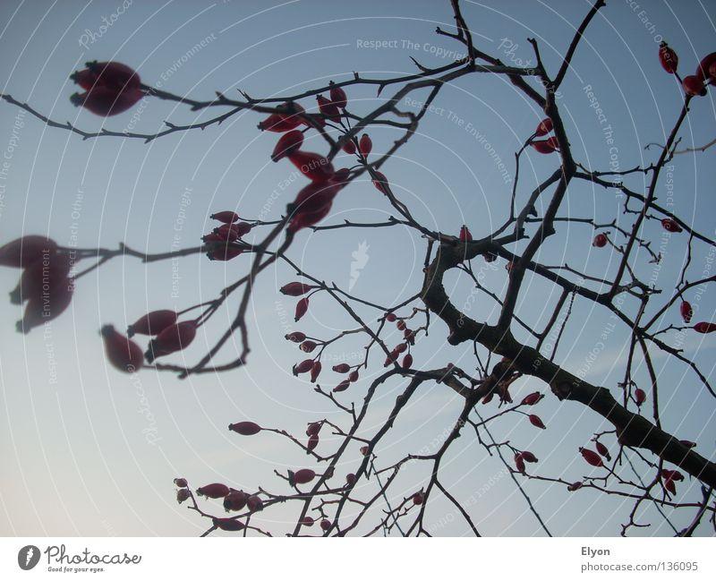 Hagebutte Natur Sträucher Rose Rosengewächse