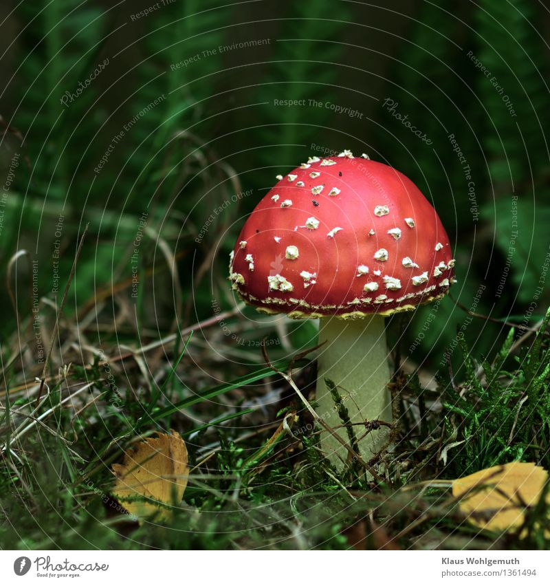 Glücksbringer ( hoffentlich ) Vegetarische Ernährung Umwelt Natur Pflanze Herbst Fliegenpilz Pilz Pilzhut Wald stehen Wachstum warten schön gelb grün rot weiß