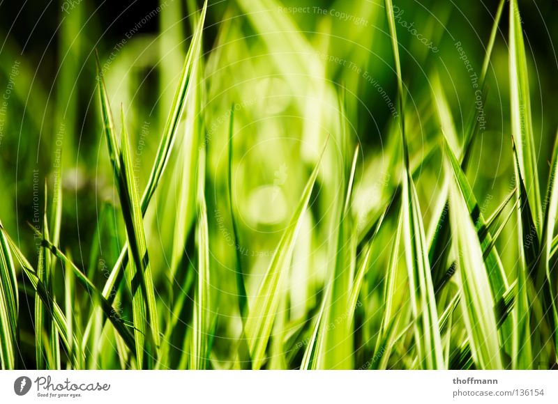 Grün-Weiß-Gras Halm grün weiß Wiese Unschärfe geschnitten Frühling Sommer Makroaufnahme Nahaufnahme rasenmähen Rasen Spitze Sonne Kontrast