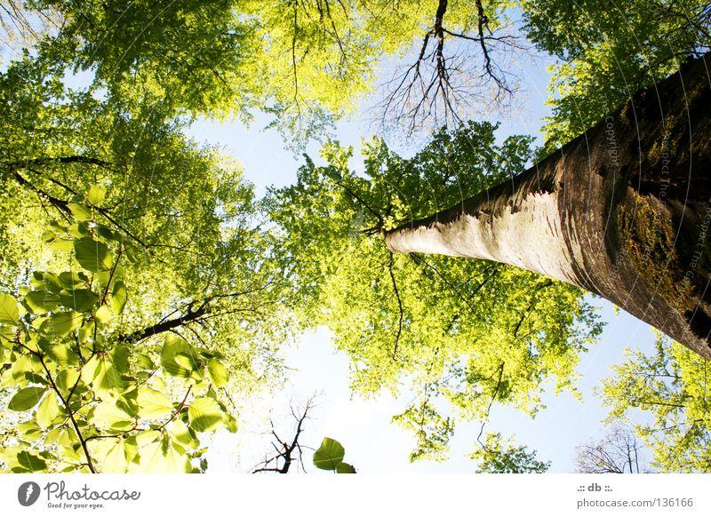 .:: MITTEN im WALD ::. Natur Himmel Frühling Baum Wald grün Baumrinde Baumkrone Baumstamm Ast Farbfoto Außenaufnahme Tag Licht Kontrast Sonnenlicht