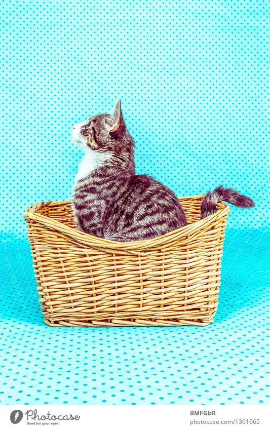Katzenposing blau schön Freude Tier Tierjunges Leben lustig grau sitzen Fröhlichkeit beobachten retro niedlich Neugier Punkt