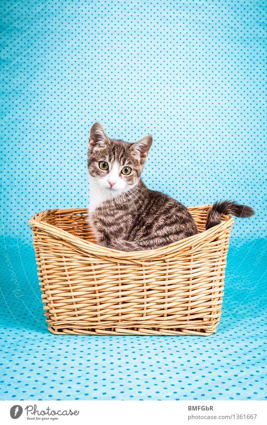 Kätzchen im Körbchen Tier Haustier Katze Fell 1 Tierjunges sitzen Fröhlichkeit trendy Neugier niedlich retro blau Tierliebe Zufriedenheit Korb altehrwürdig