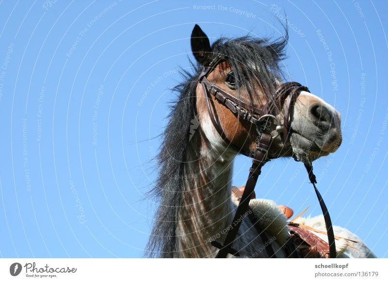 Pony im himmel Pferd Zaumzeug Mähne Freisteller Säugetier Reitsport kleinpferd zügel Himmel Sattel