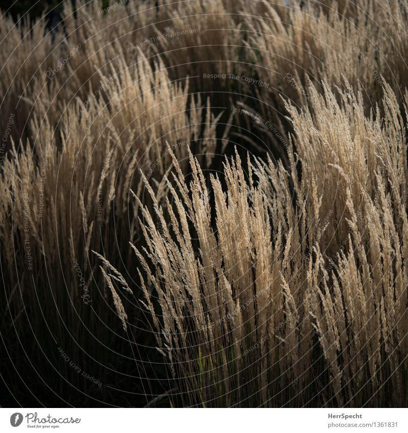 Herbstlicht Pflanze Gras ästhetisch natürlich schön braun schwarz Natur Ziergras Schilfrohr Büschel Garten Park herbstlich Farbfoto Gedeckte Farben