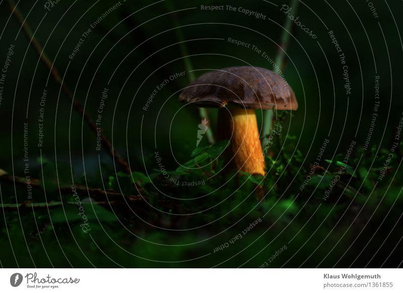 Objekt der Begierde Lebensmittel Pilz Pilzhut Maronenröhrling Umwelt Natur Pflanze Moos Kleeblatt Wald Dekoration & Verzierung stehen Wachstum warten ästhetisch