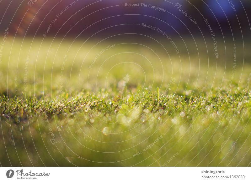 morgentau. ein klassiker. Natur Landschaft Wassertropfen Herbst Klima Wetter Gras Garten Wiese glänzend ruhig Tau Farbfoto Gedeckte Farben Außenaufnahme