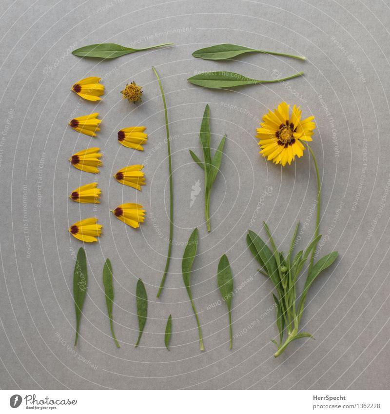 Blume inkl. Ersatzteillager Pflanze Blatt Blüte Sammlung Blühend liegen ästhetisch kaputt gelb grün Ordnungsliebe Natur Zerstörung Super Stillleben