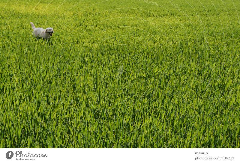 Ich bin bereit! II Natur grün Tier Wiese Gras Frühling Hund Landschaft Feld Landwirtschaft Schönes Wetter Säugetier Erwartung Labrador Weizenfeld hellgrün