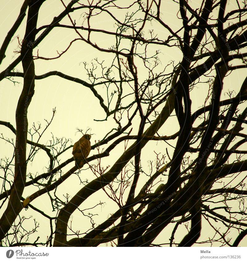 Bussardfrühling II Natur Baum Tier Umwelt Vogel sitzen Zweige u. Äste Bussard Mäusebussard