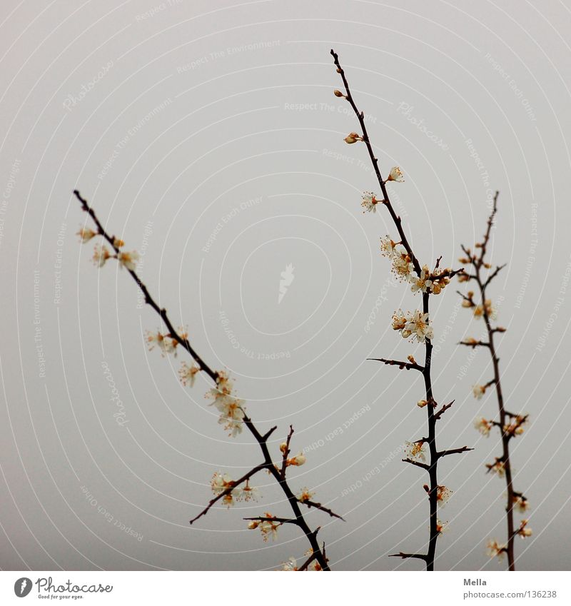 Nebelblütenäste Geäst Sträucher Blüte weiß grau trüb Frühling kalt frisch feucht Schwüle Umwelt stachelig Dorn Park Himmel Ast Zweig dunstig Blütenknospen Natur
