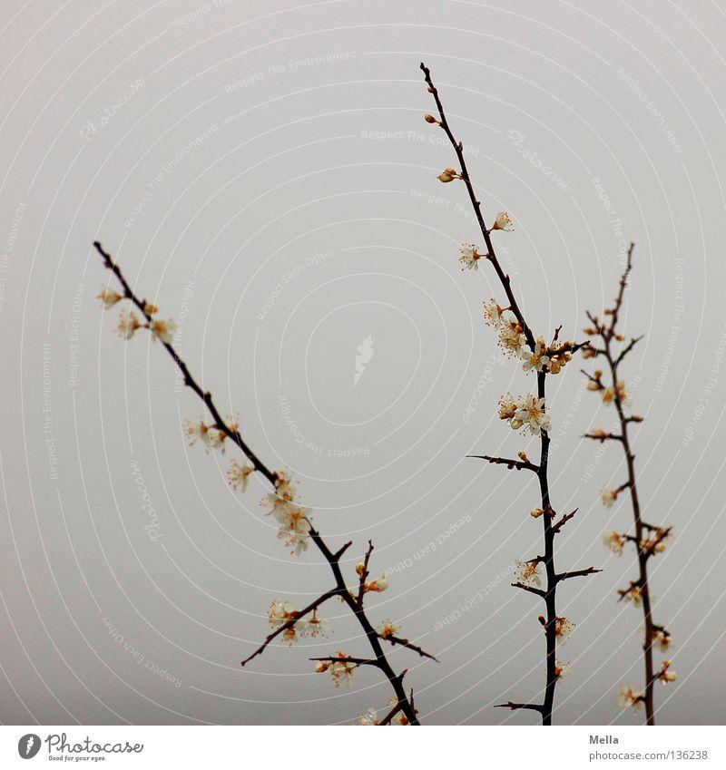 Nebelblütenäste Himmel Natur weiß Umwelt kalt grau Frühling Blüte Park Nebel frisch Sträucher Spitze Ast Schutz feucht