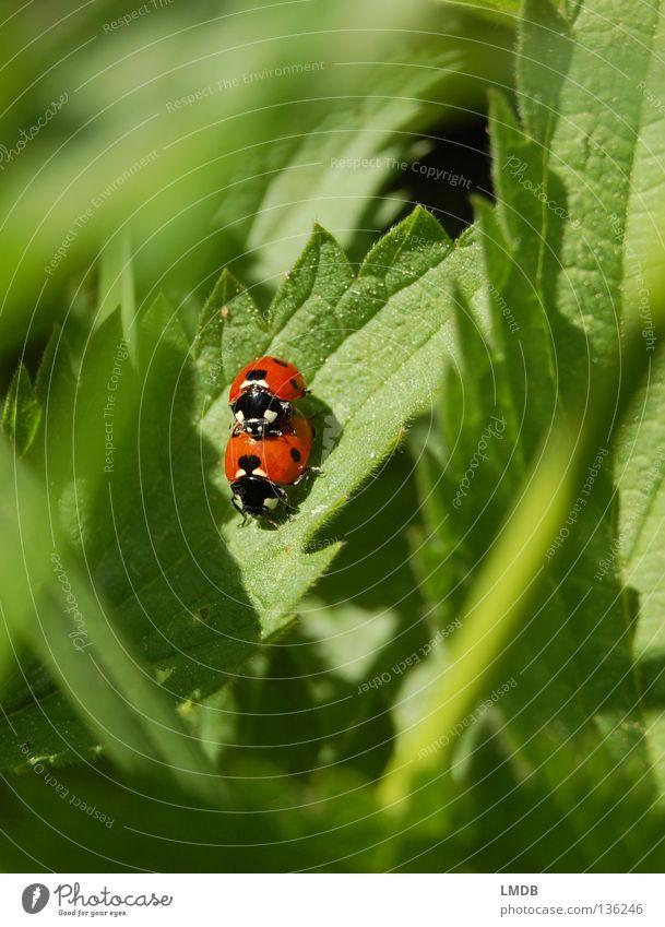 Sex auf Brennesseln fördert die Durchblutung! Natur grün rot Blatt schwarz Gras fliegen Tierpaar paarweise gefährlich Insekt Punkt Gemüse Partner Halm Käfer