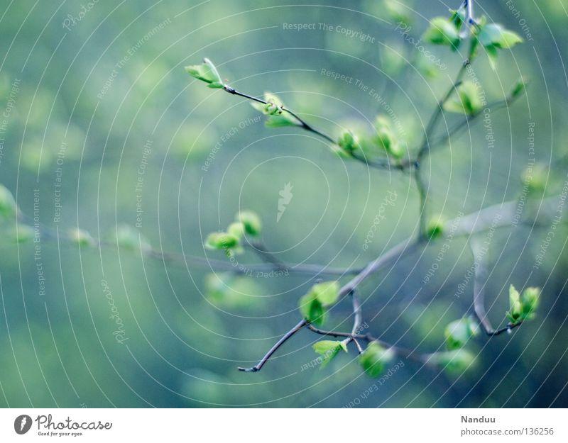 zart-kalt Natur Baum Pflanze kalt Frühling Wachstum Sträucher Ast zart Tiefenschärfe Blütenknospen sanft Reifezeit Offenblende