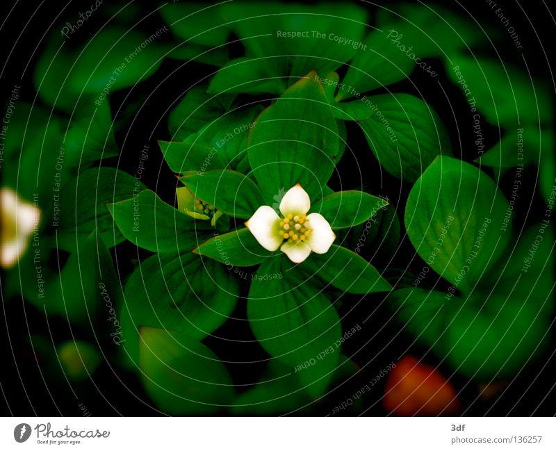 frühlingserwachen Blume Frühling Blüte weiß aufwachen sprießen grüne blätter