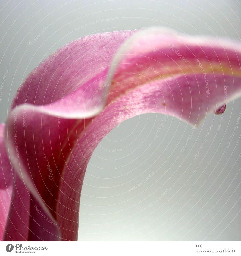 Lady Elegance Natur weiß schön Pflanze Blume Blüte Wellen elegant rosa frisch Ecke Dekoration & Verzierung Dame edel Am Rand Lilien