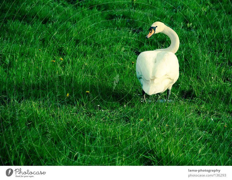 Ich hab auch Augen..du ARSCH! Schwan Höckerschwan Gans watscheln Wiese Gras elegant weiß Tier Schnabel Hinterteil Schwanz drehen Blick spannen laufen Vogel