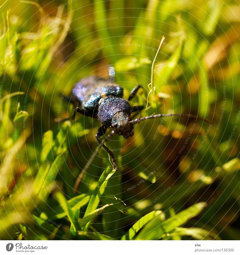 Coleoptera grün schwarz Makroaufnahme Gras krabbeln Insekt Fühler Käfer blau