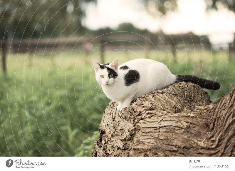 Posieren für den Photographen II Katze Natur grün weiß Baum Tier schwarz Herbst Wiese Gras braun liegen Feld frei sitzen beobachten