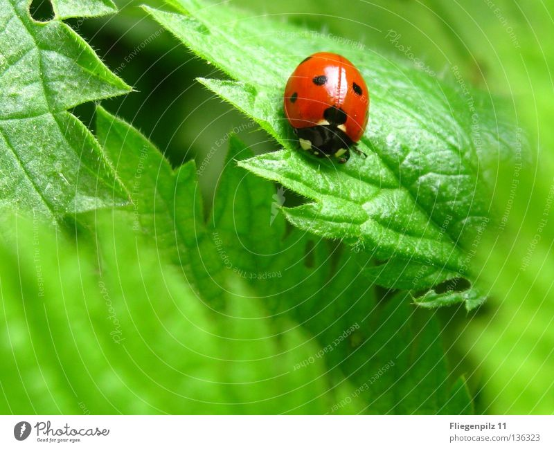 Marienkäfer auf Brennessel Natur Pflanze Blatt Tier 1 genießen natürlich Spitze grün rot Glück Zufriedenheit ruhig gepunktet Brennnessel Insekt grasgrün