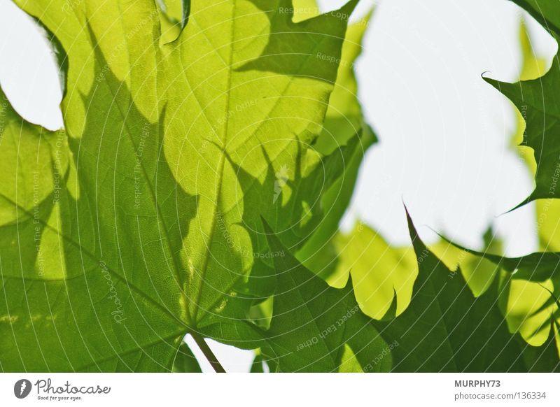 Spitze Ahornblätter... nicht auf falsche Gedanken kommen. ;-) Himmel Baum grün Blatt Farbe Frühling Zacken hell-blau dunkelgrün hellgrün Ahornblatt Spitzahorn