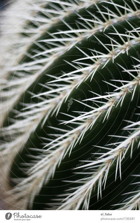 [YT=QCKhz2r3vn8] grün Pflanze Leben Afrika Wüste Streifen Spitze Schmerz trocken Furche Kaktus Stachel