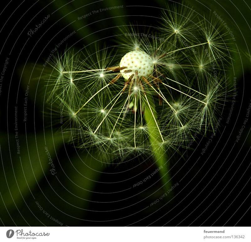 Sternchen Löwenzahn Pflanze Wachstum fliegen Sommer zart Wiese Stern (Symbol) Samen