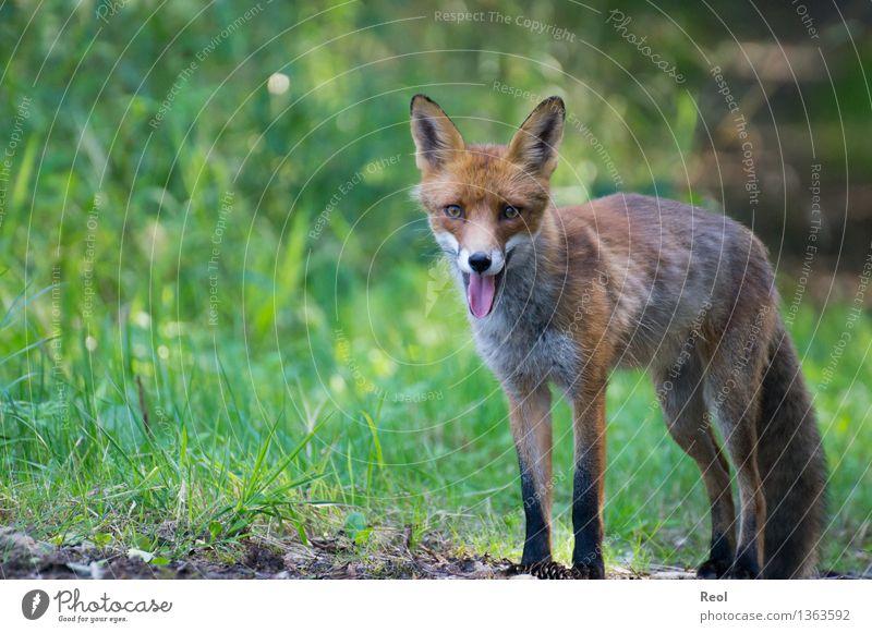 Fuchs I Natur Tier Sommer Schönes Wetter Gras Wald Wildtier 1 beobachten atmen Blick in die Kamera grün Waldtier stehen wild frei Zunge warten Farbfoto