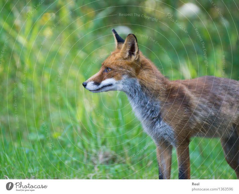 Fuchs II Natur grün Sommer Tier Wald Wiese Gras wild frei Wildtier stehen beobachten Schönes Wetter hören Jagd