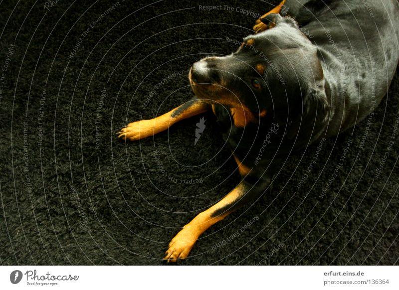 Prinzessin Shira ll Rottweiler Hund verlegen schwarz Teppich Tier süß Kontrolle niedlich Dogge Vogelperspektive Fell Schnauze glänzend braun fein schön Gefühle