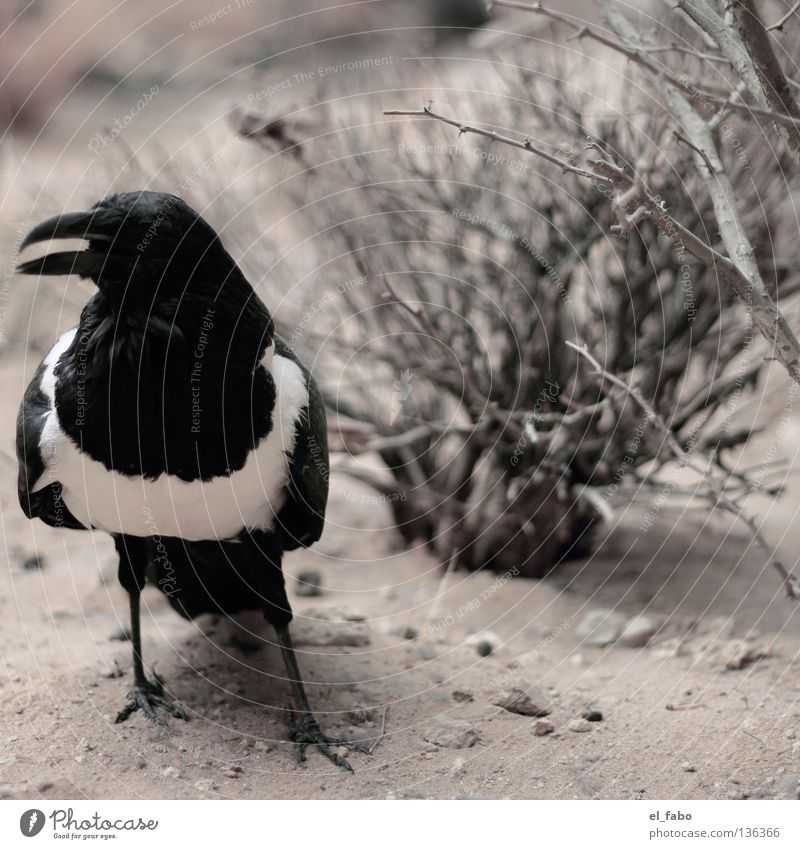 elster Elster Vogel schwarz weiß Sträucher Baum Krähe Rabenvögel Schnabel Dieb Krimineller Feder Sand Krallen diebisch Hinterhalt habsucht gauner