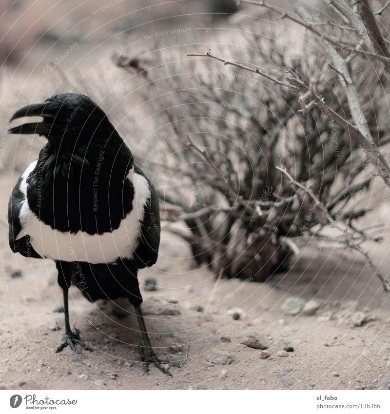 elster weiß Baum schwarz Sand Vogel Feder Sträucher Schnabel Dieb Krallen Krimineller Krähe Hinterhalt Rabenvögel Elster