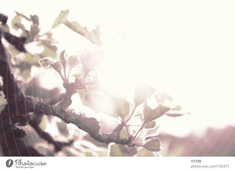 kiss me tender Natur Baum Pflanze Sonne Blüte Frühling zart Ast Strahlung sanft Blütenknospen Kirsche Frucht