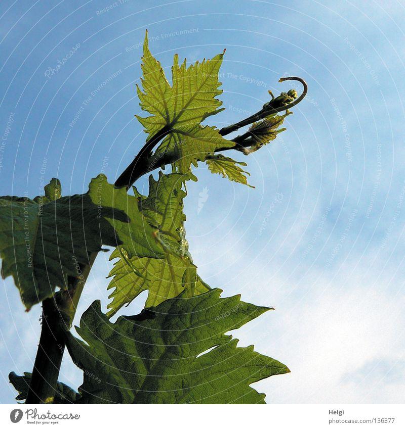 Ranke einer Weinrebe mit Weinblättern vor blauem Himmel Weinranken Blatt Weinblatt Stengel Gefäße Blattgrün Wolken weiß Frühling Sommer Mai Wachstum Pflanze