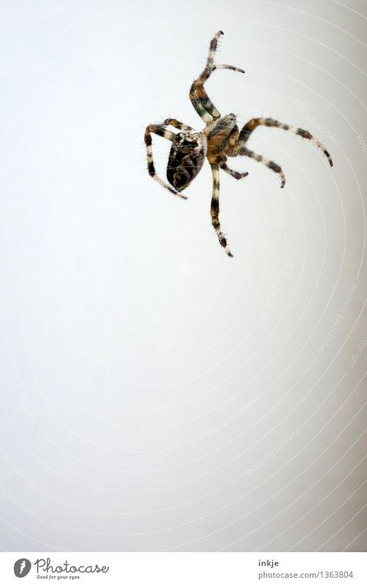 schattenlos weiß Tier Gefühle klein braun oben Fassade Wildtier dünn hängen krabbeln Ekel Spinne Spinnenbeine Vor hellem Hintergrund