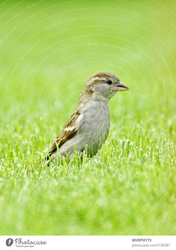 Hallo... ist da wer? grün Tier Frühling grau Garten Vogel Park braun Feder Rasen Dame Schnabel beige Spatz