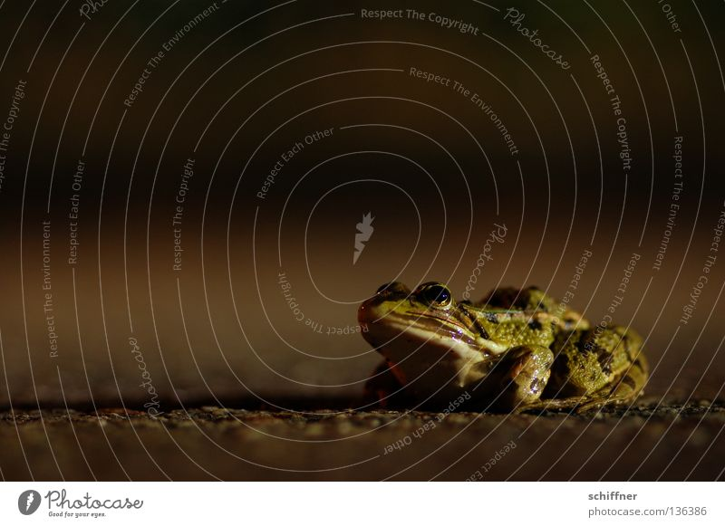 Na los - küss mich! Laubfrosch Froschlurche Lurch Krötenwanderung Krone Küssen Märchen Straßenverkehr Teer Froschschenkel hüpfen hocken grün Waserfrosch