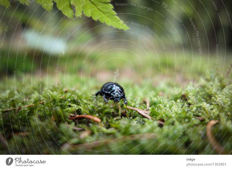 Karl ahnt Artgenossen Natur Frühling Sommer Herbst Moos Farn Waldboden Wildtier Käfer Mistkäfer 1 Tier krabbeln glänzend klein grün schwarz Farbfoto