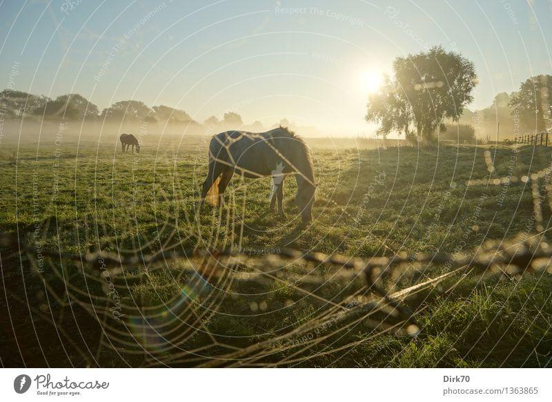 Altweibersommer Umwelt Natur Landschaft Wolkenloser Himmel Horizont Sonne Sonnenlicht Herbst Klima Schönes Wetter Baum Gras Wiese Weide Tier Nutztier Pferd