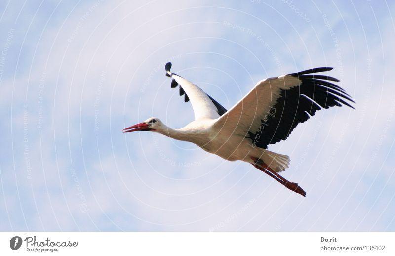 fly away Storch Weißstorch Schnabel Freiflug Blauer Himmel sonnenbeschienen Federvieh groß Suche ruhig Ferne Geburt Vogel Afrika Frühling Hausstorch