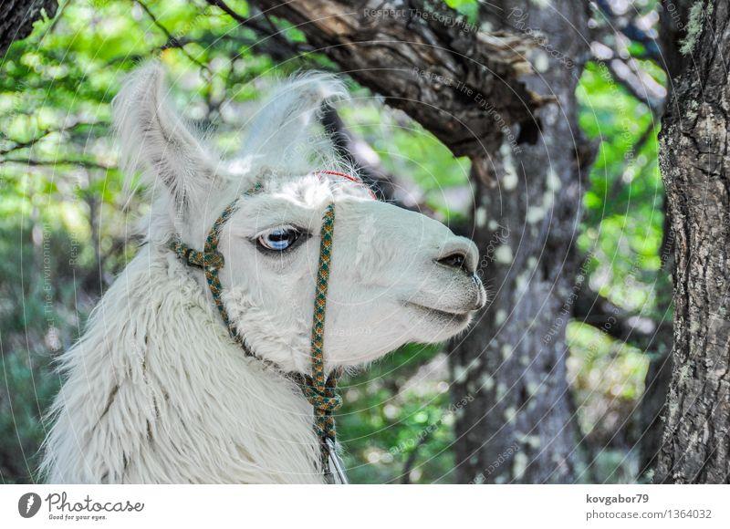 Lama im Wald, El Chalten, Argentinien Himmel Natur blau Landschaft Tier Berge u. Gebirge Schnee See Felsen Park wandern Aussicht Klettern Süden Bergsteigen