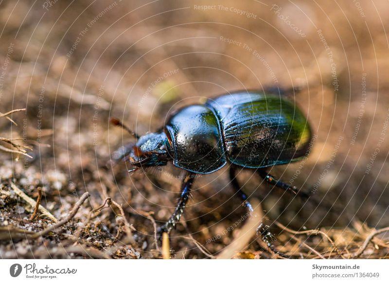 Gemeine Mistkäfer oder Rosskäfer (Geotrupes stercorarius) Natur Pflanze blau grün Sommer Landschaft Tier Wald Berge u. Gebirge Umwelt Frühling Herbst Wiese