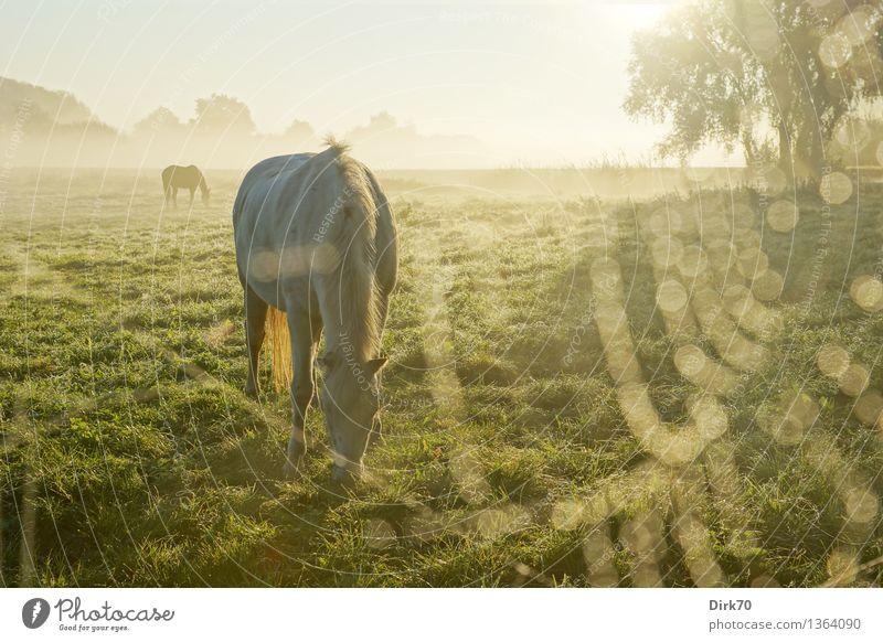 Frühstück im Morgennebel Reiten Sonne Sonnenlicht Herbst Schönes Wetter Nebel Baum Gras Weide Wiese Bremen Niedersachsen Haustier Nutztier Pferd Schimmel