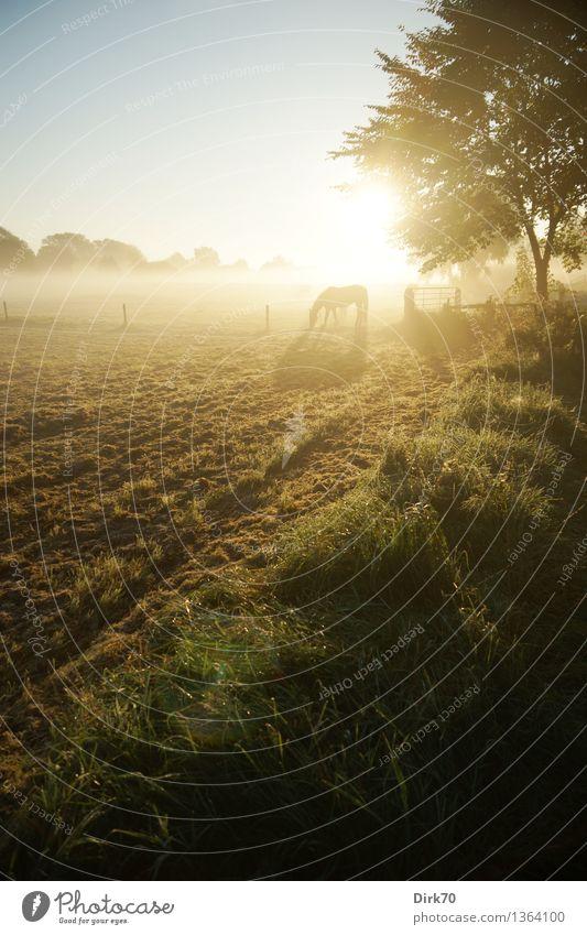 Pferd auf herbstlicher Weide Freizeit & Hobby Reiten Landwirtschaft Forstwirtschaft Umwelt Landschaft Wolkenloser Himmel Sonne Sonnenaufgang Sonnenuntergang