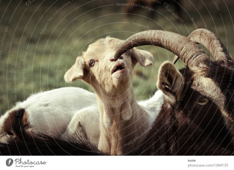 Öhhh Natur Tier Tierjunges Frühling natürlich lustig niedlich Neugier Weide Fell Überraschung Interesse Horn Zicklein Herde Nutztier