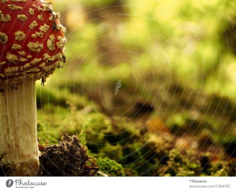 Abendessen! Natur Pflanze Erde Herbst Moos Fliegenpilz Wald rot weiß Gift gefährlich Farbfoto mehrfarbig Außenaufnahme Nahaufnahme Menschenleer Tag